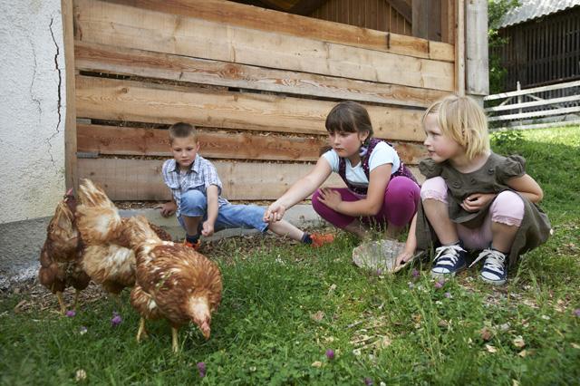 krmljenje kokoši