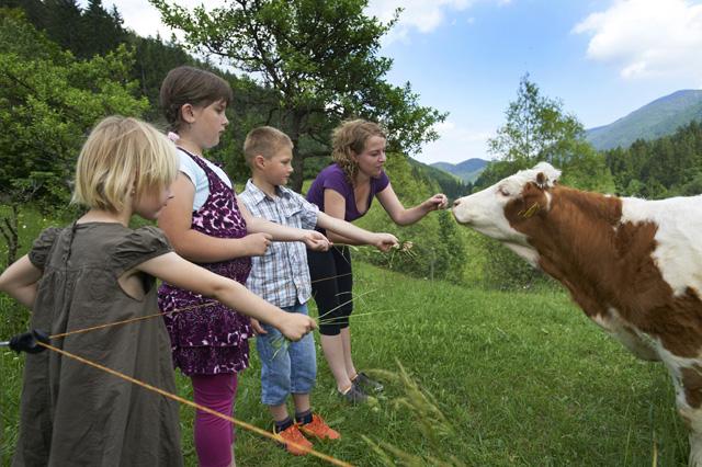 hranjenje goveda